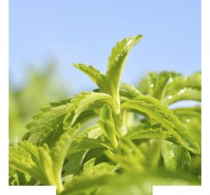 Stevia kaufen - worauf achten?